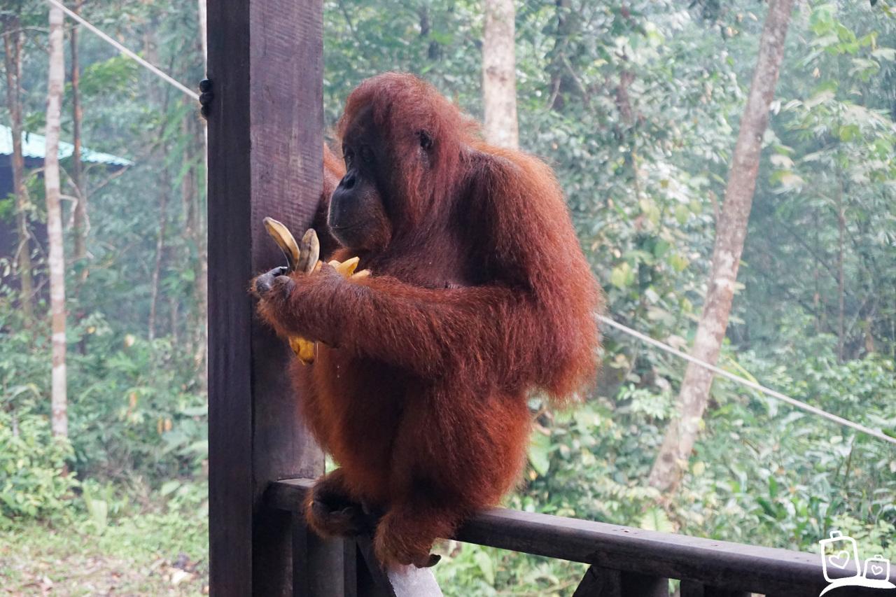 Borneo Kuching Semonggoh Orang Oetan