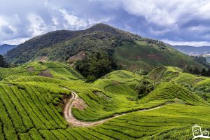Cameron Highlands Theeplantages