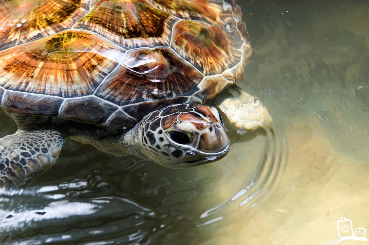 Sri Lanka Galle Zeeschildpadden Opvang