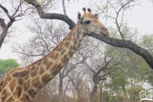 Zuid-Afrika Kruger National Park Giraf