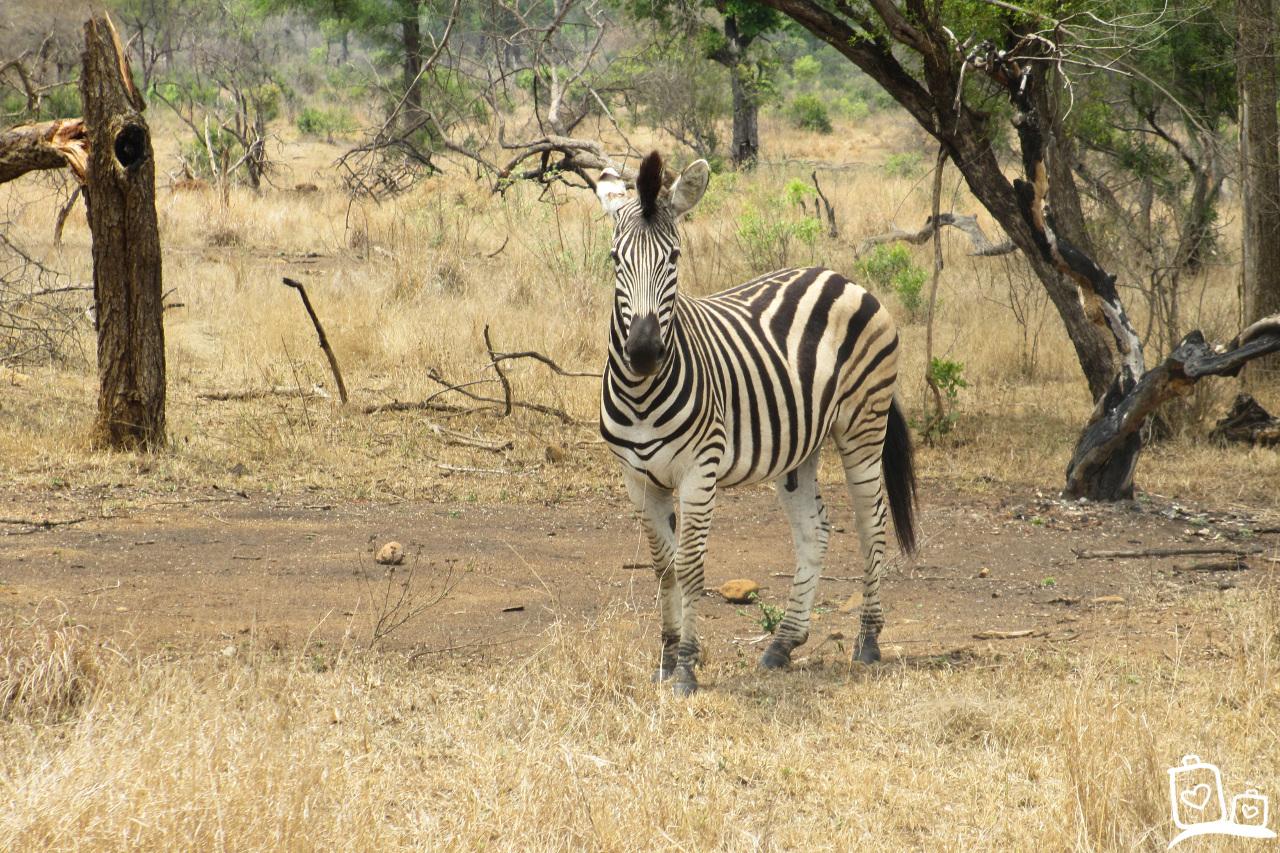 Zuid-Afrika Kruger National Park Zebra