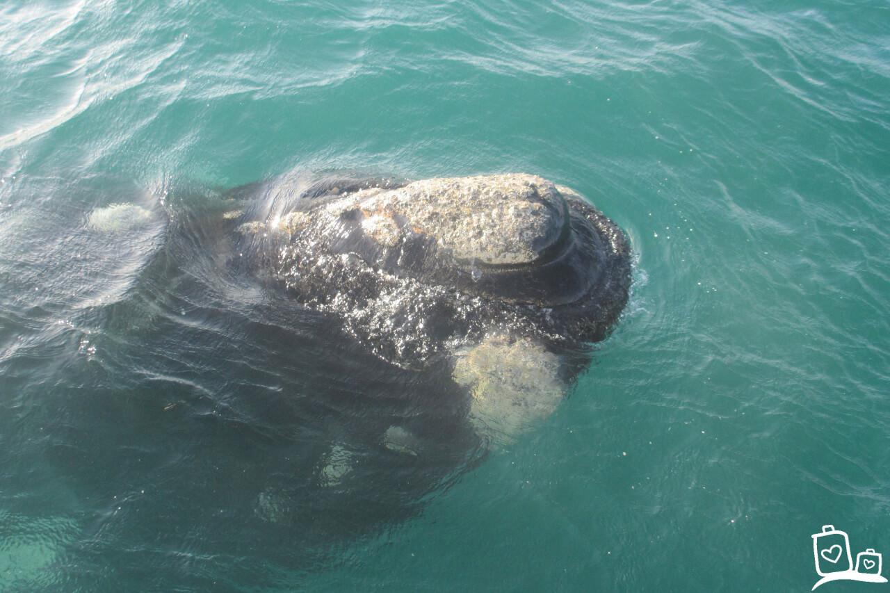 Zuid-Afrika Kaapstad Walvissen