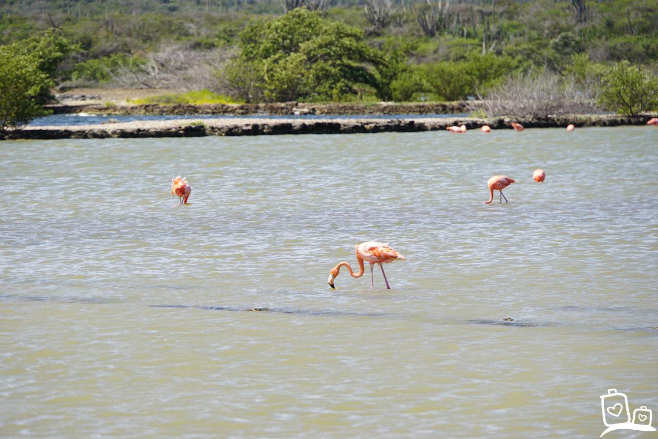 Curacao Flamingo's zoutvlakte