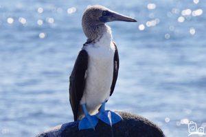 Ecuador Galapagos eilanden Blue Footed Boobies