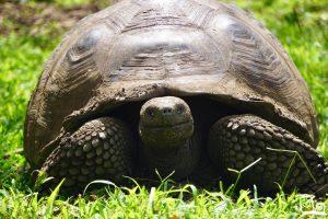 Ecuador Galapagos eilanden Landschildpadden