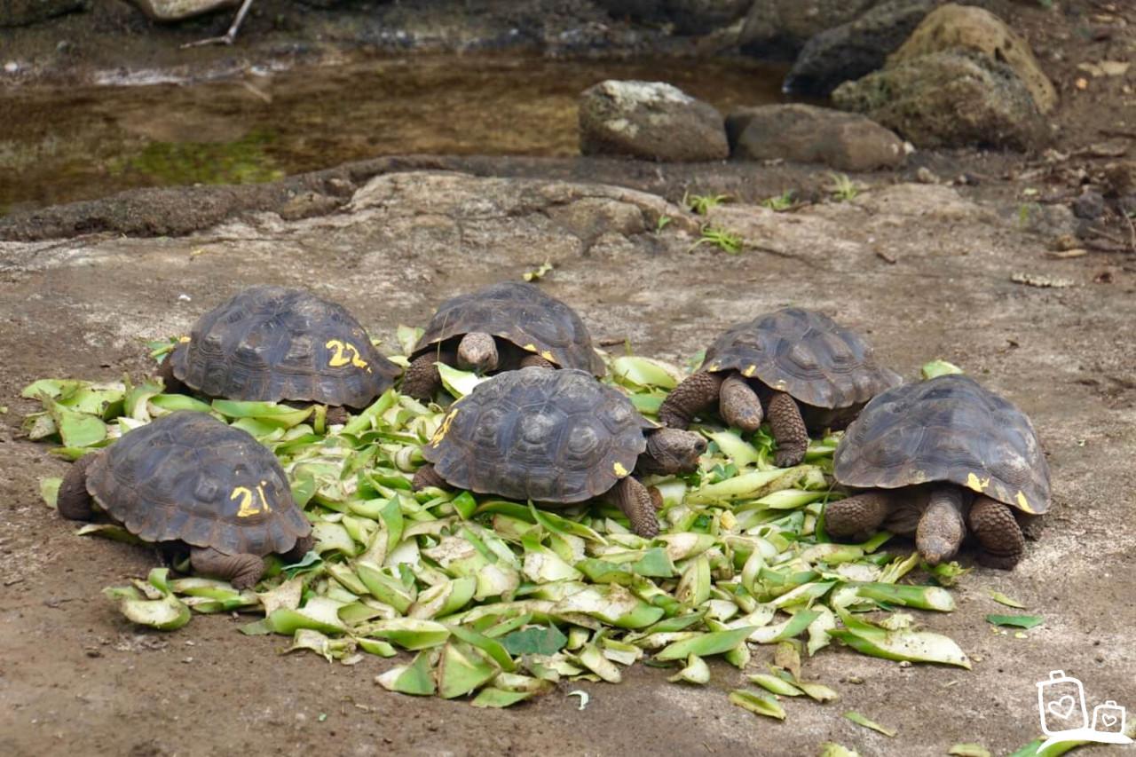 Ecuador Galapagos eilanden Landschildpadden baby