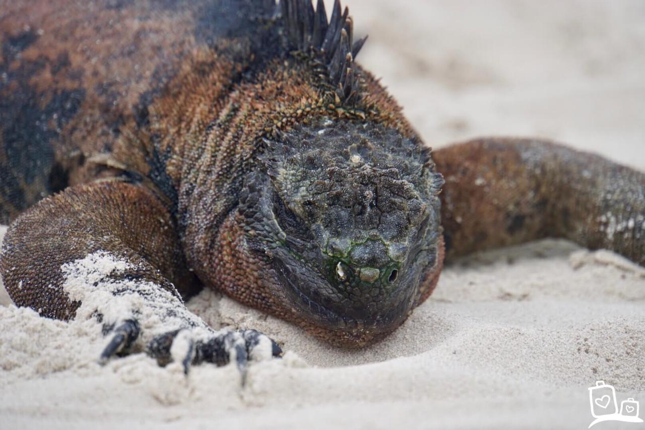 Ecuador Galapagos eilanden Zeeleguaan