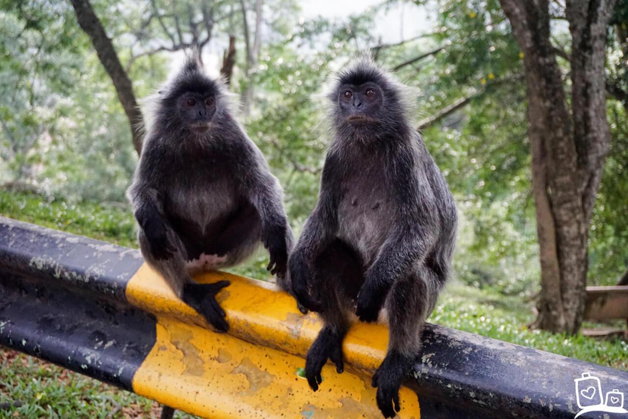 Kuala Lumpur Selangor Silver Leaf Monkeys