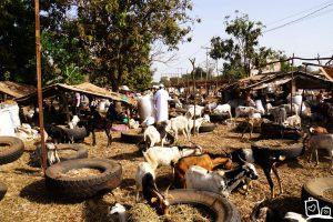 Gambia - Veemarkt Yundum