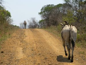 Zuid Afrika Hluhluwe Zebra