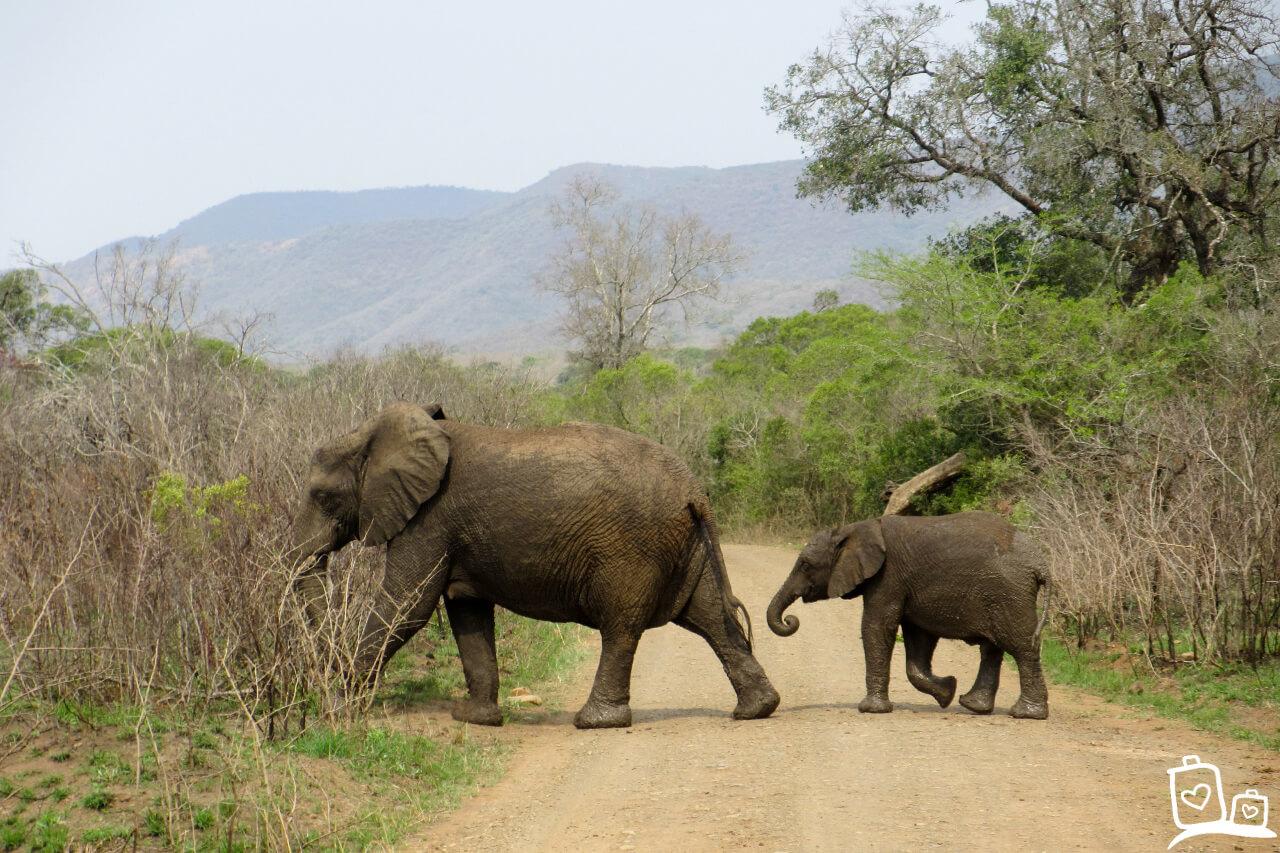 Zuid-Afrika Hluwluwe -Umfolozi National Park Olifant