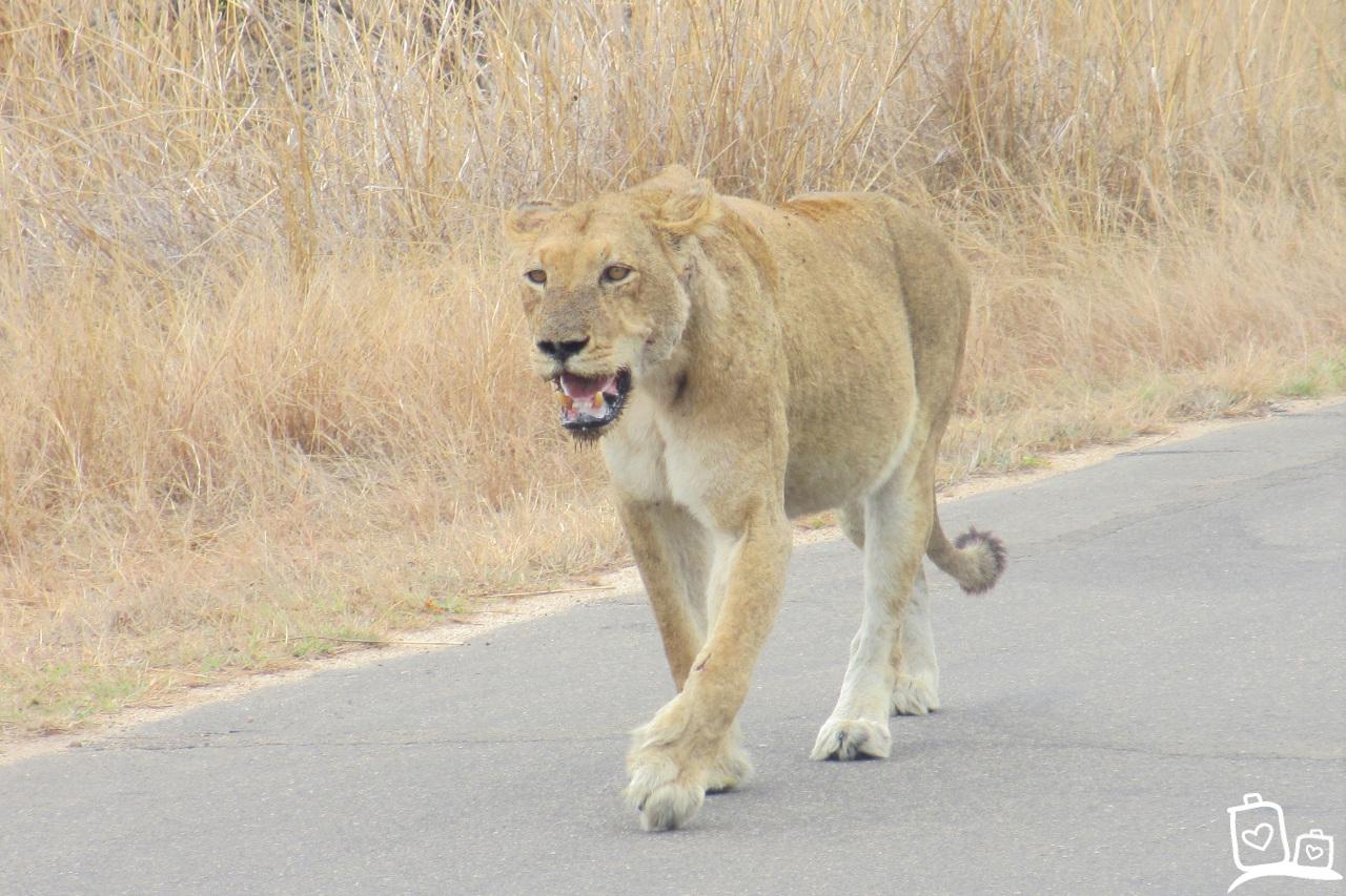 Zuid-Afrika Kruger National Park Leeuw