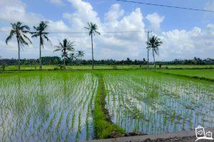 Indonesie-Bali-Ubud-rijstveld