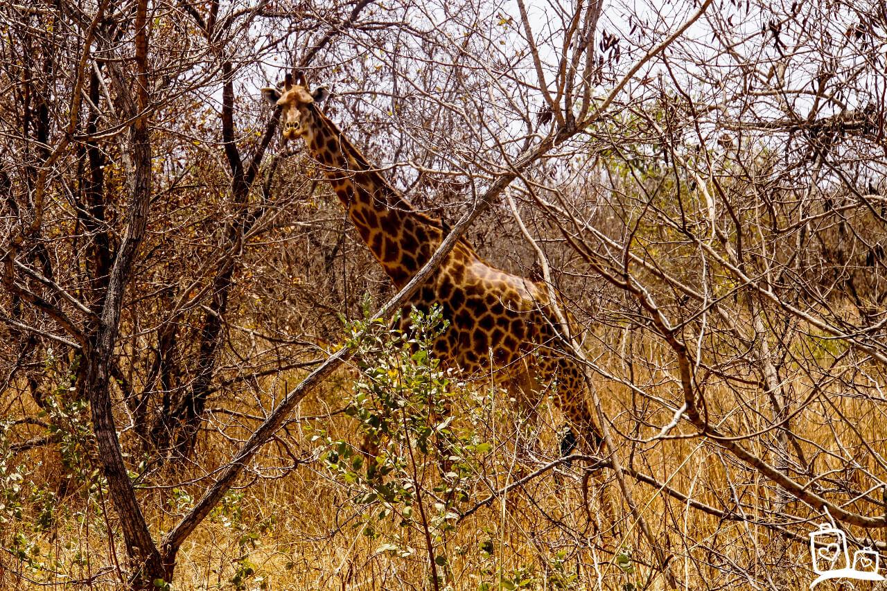 Gambia Senegal Fathala Wildlife Reserve