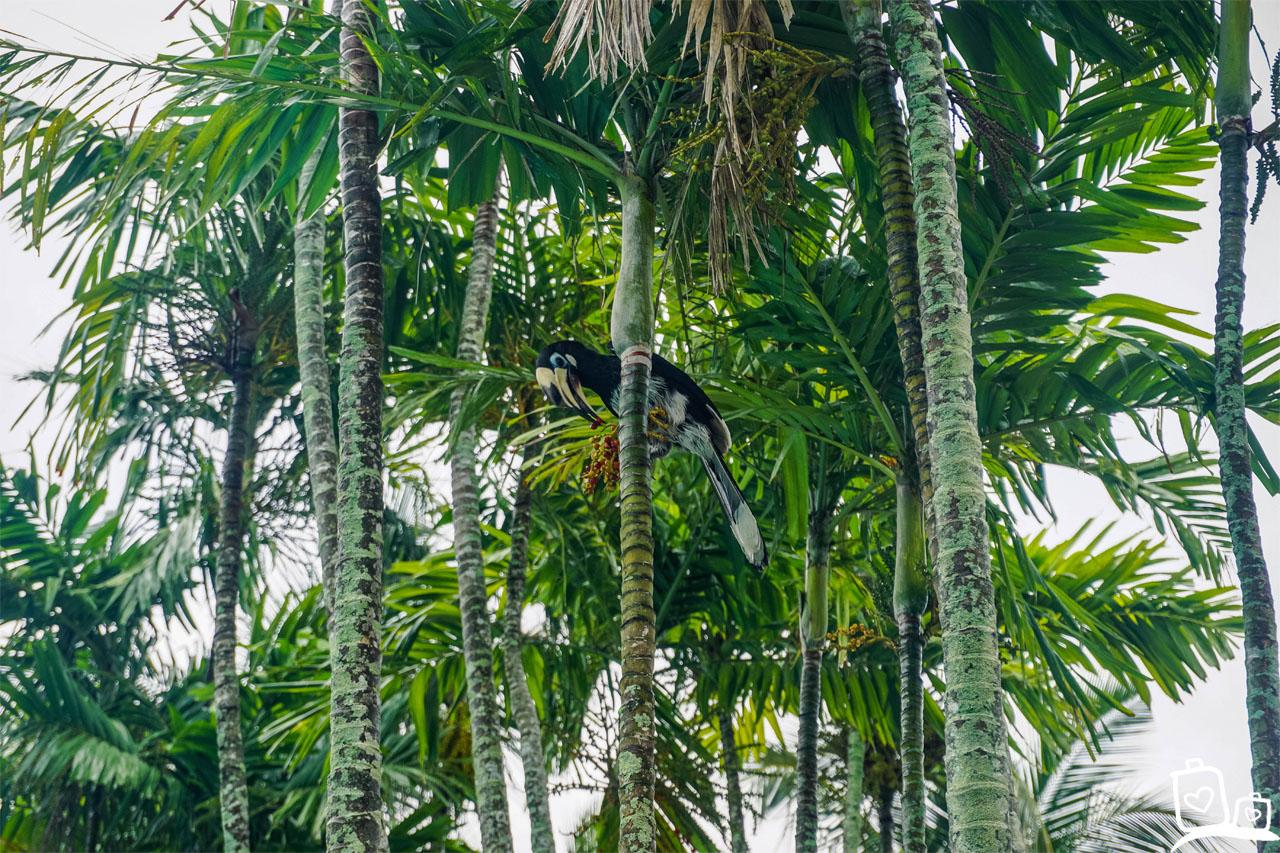 Maleisie Langkawi Neushoornvogel