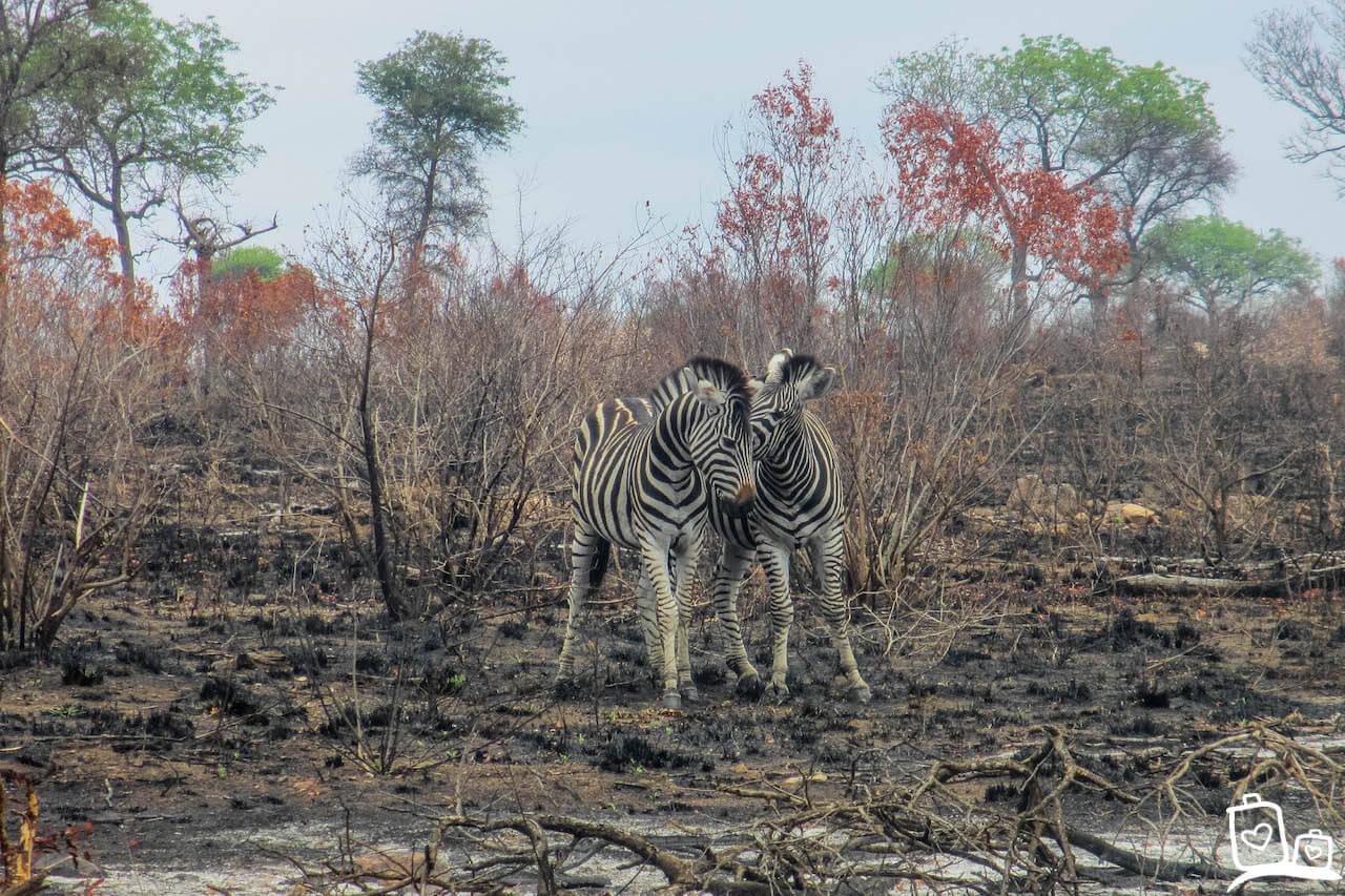 Zuid Afrika Krugerpark Zebra