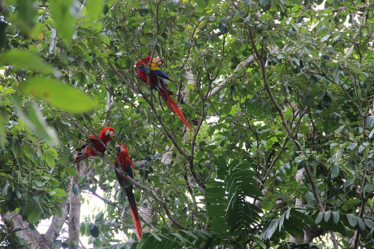 Anouk Veltmaat - Costa Rica - Rode Ara Corcovado