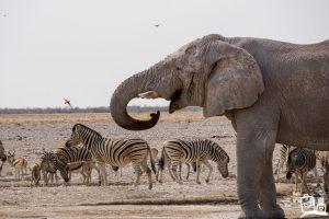 Namibie Etosha Safari