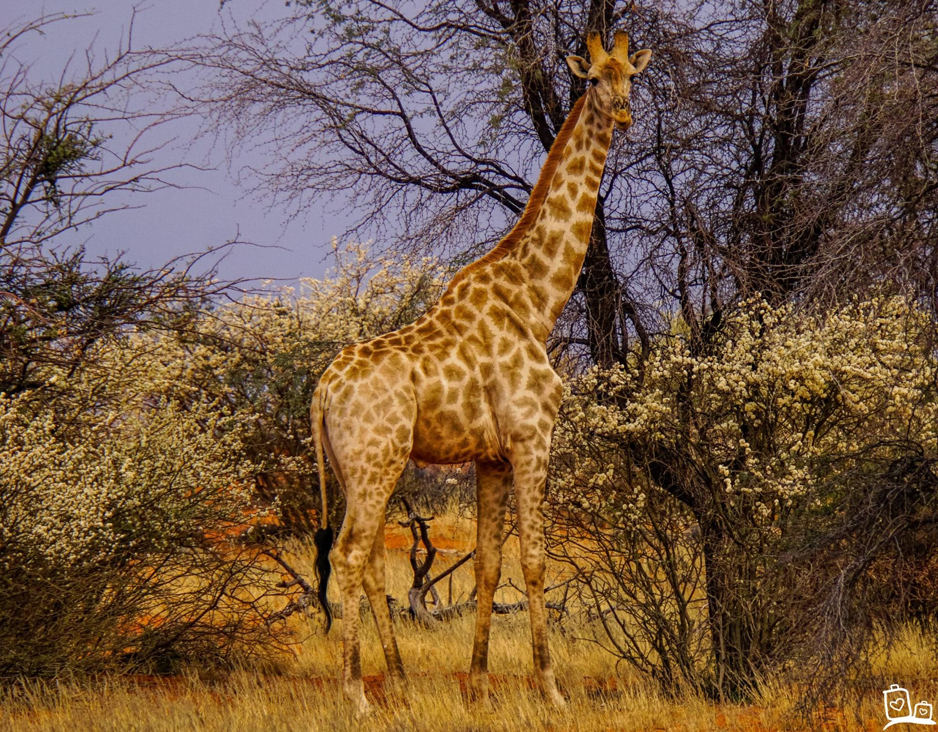 Namibie Kalahari woestijn Giraf