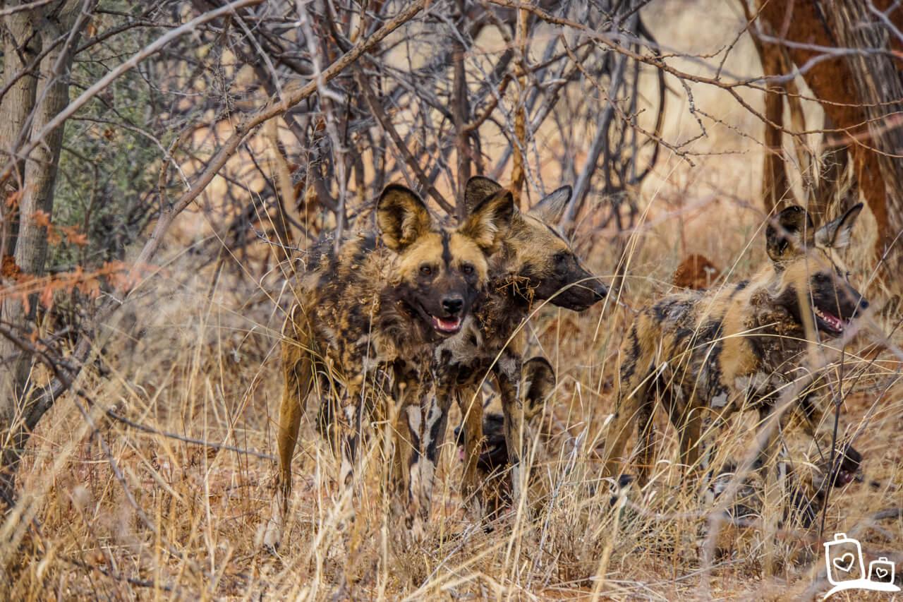 Namibie Erindi Wilde Honden Safari