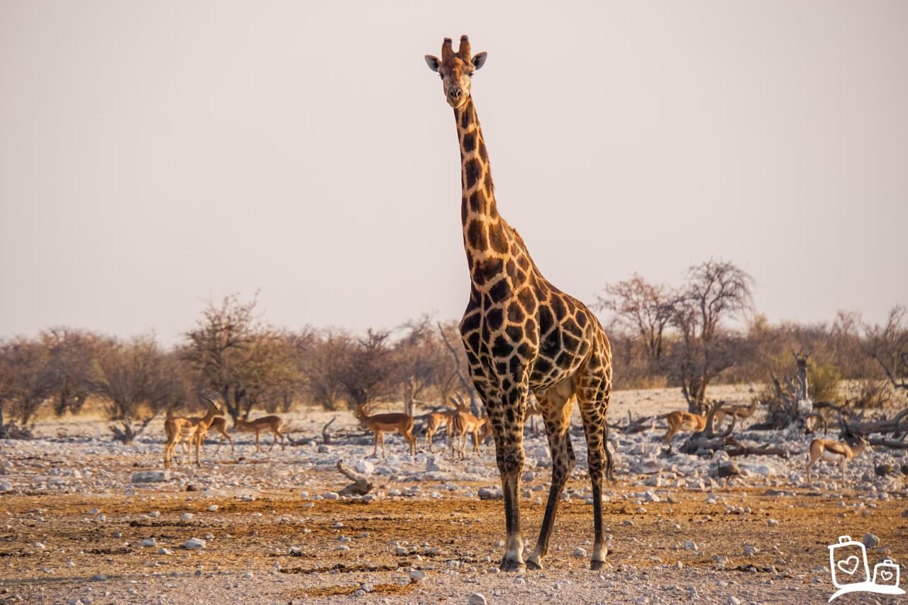 Namibie Etosha NP Safari Giraf