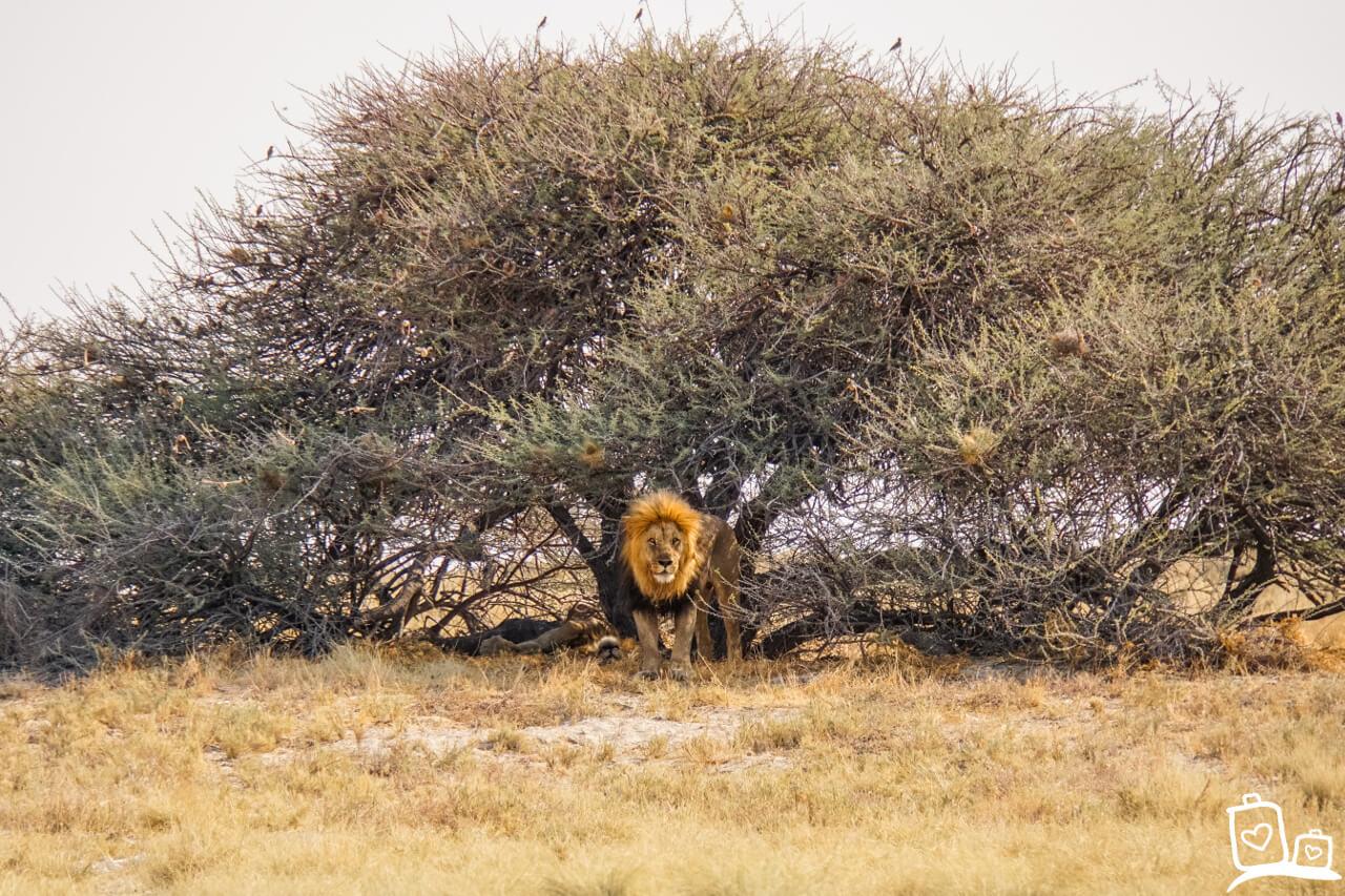 Namibie Etosha NP Safari Leeuw