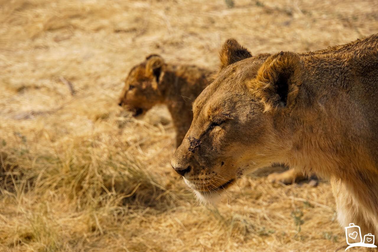 Namibie Etosha NP Safari Leeuwin