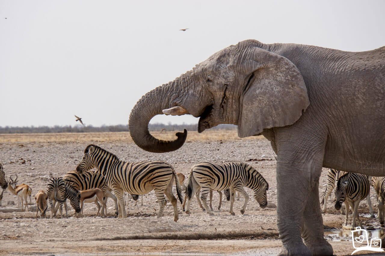 Namibie Etosha NP Safari Olifant