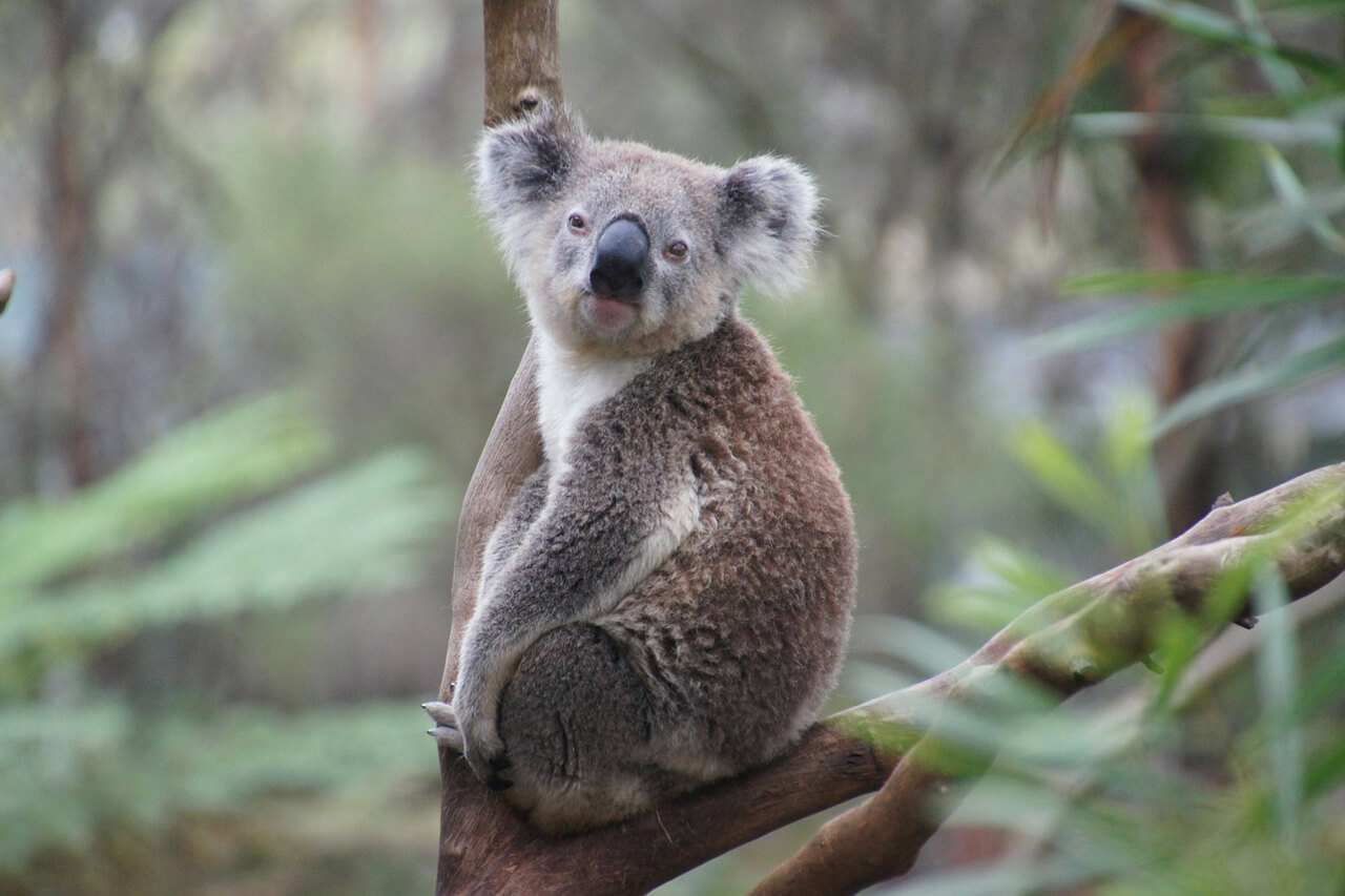 Australië Koala