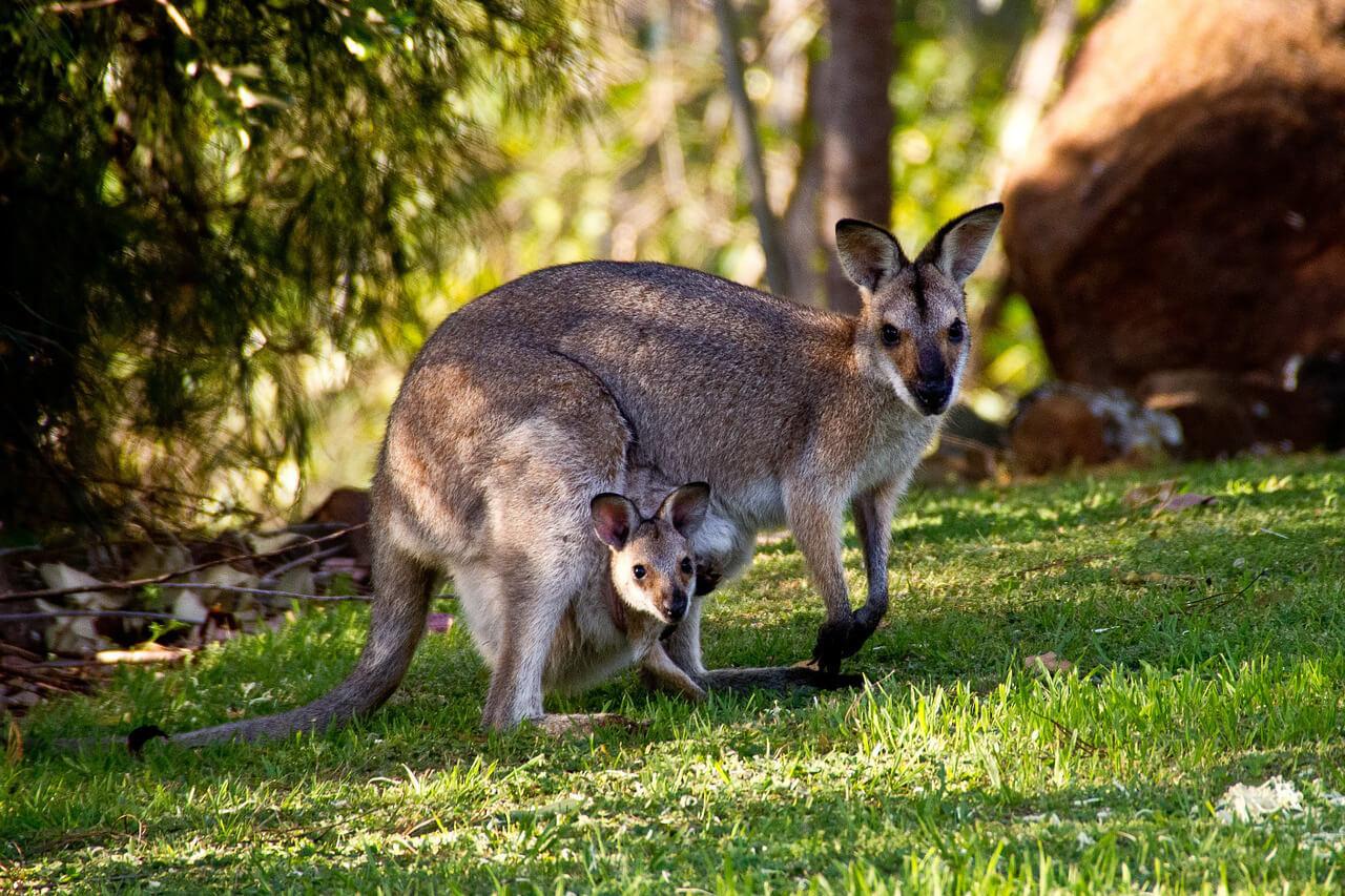 Australië Wallabies Kangaroes