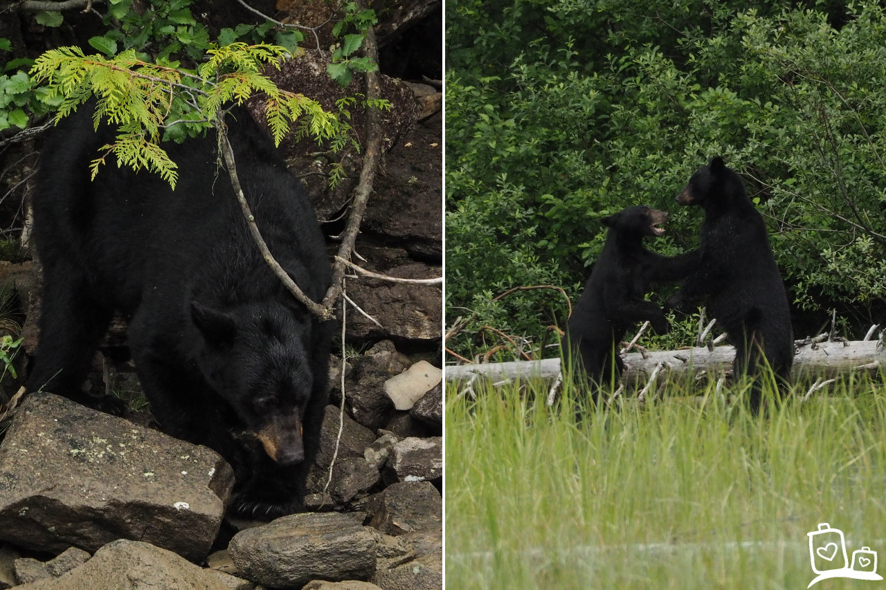 Bearwatching in Blue River, Canada