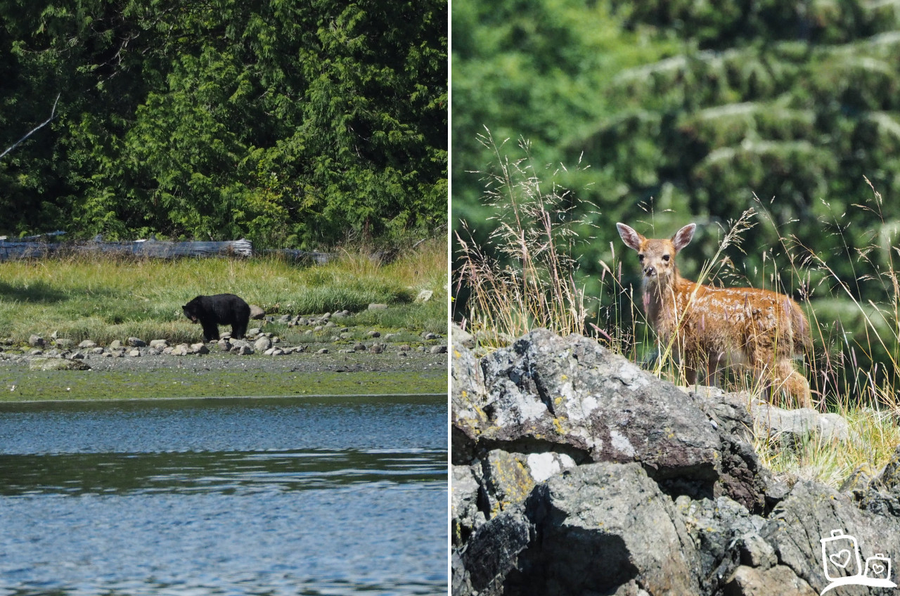 Bearwatching in Ucluelet, Canada
