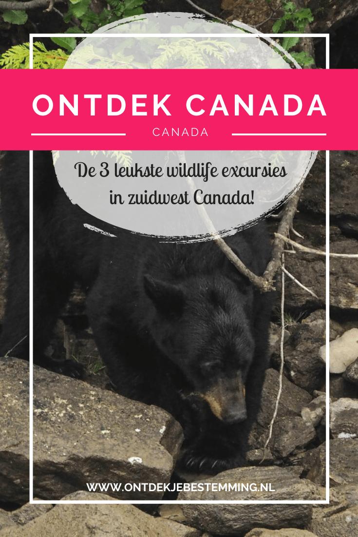 Dit zijn de beste wildlife excursies in zuidwest Canada. Spot hier onder andere zwarte beren, walvissen, roofvogels en zeeleeuwen. Lees snel meer!